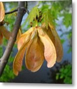 Maple Seeds In May Metal Print