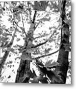 Maple Trees In Black And White Metal Print