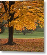 Maples Trees In Fall Metal Print