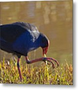 March Of The Swamphen Metal Print by Mike  Dawson