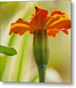 Marigold On A Lovely Spring Day Metal Print