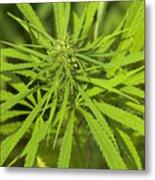 Marihuana Metal Print