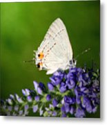 Marius Hairstreak Butterfly Metal Print