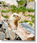 Marmot On Mount Massive Colorado Metal Print