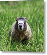 Marmot Pup Metal Print