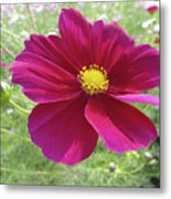Maroon And Yellow Cosmos Metal Print