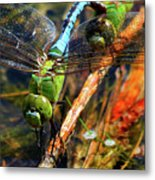 Married With Children Dragonflies Mating Metal Print