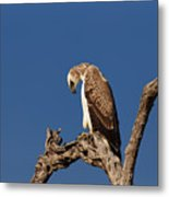 Martial Eagle Metal Print