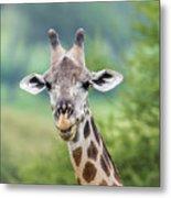Masai Giraffe Portrait Metal Print