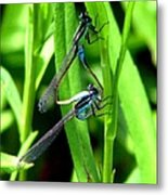 Mating Damselflies Metal Print