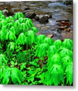 Mayapples And Middle Fork Of Williams River Metal Print
