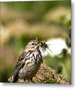 Meadow Pipit With Food Metal Print