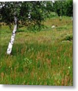 Meadow With Birch Trees Metal Print