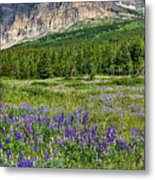 Meadow With Lupines Metal Print by Merilee Phillips