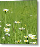 Meadow With White Wild Flowers Spring Scene Metal Print
