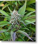 Medicinal Marijuana Growing Metal Print