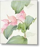 Medinilla Magnifica Metal Print by Sarah Creswell
