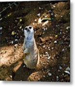 Meerkat     Say What Metal Print