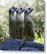 Meerkats On The Lookout Metal Print