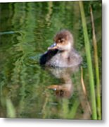 Merganser Duckling Metal Print