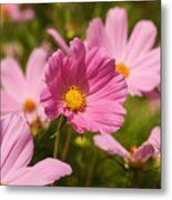 Mexican Aster Flowers 2 Metal Print