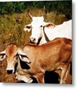 Mexican Cattle Metal Print
