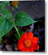Mexican Sunflower 2 Metal Print