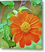 Mexican Sunflower Along White Pine Trail In Kent County, Michigan  Metal Print