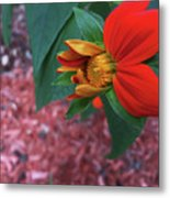 Mexican Sunflower In Mid Bloom Metal Print