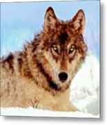 Mexican Wolf Painting Metal Print