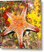Mexico, Gulf Sea Star Metal Print