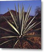Mexico, Oaxaca, Field Of Agave Plants Metal Print