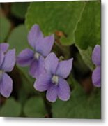 Michigan Purple Spring Flowers Metal Print