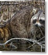 Michigan Raccoon Metal Print