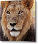 Mighty Lion In South Africa Metal Print