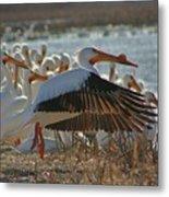 Migrating Pelicans  Metal Print