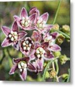 Milk Weed Vine Flowers Metal Print