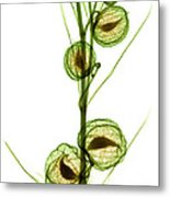 Milkweed, Gomphocarpus Physocarpus Metal Print