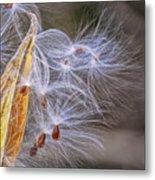 Milkweed Pod And Seeds  Metal Print