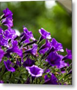 Mill Hill Inn Petunias Metal Print