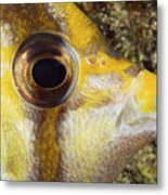 Milletseed Butterflyfish Metal Print