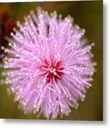 Mimosa Pudica Flower Metal Print