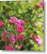 Miniature Fuchsia Roses Metal Print