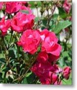 Miniature Roses Metal Print
