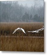 Misty Mute Swans Soaring South Jersey Wetlands Metal Print