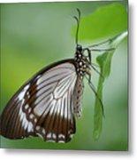 Mocker Swallowtail Metal Print