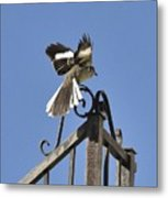 Mockingbird Landing On Fence Metal Print