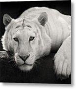 Mohan The White Tiger Metal Print