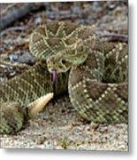 Mohave Green Rattlesnake Striking Position 3 Metal Print
