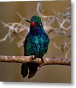 Molting Hummingbird Metal Print